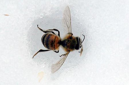 abeille-neige.jpg