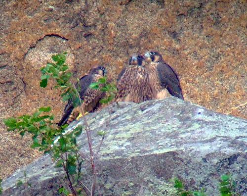 3 Jeunes Faucons pelerins