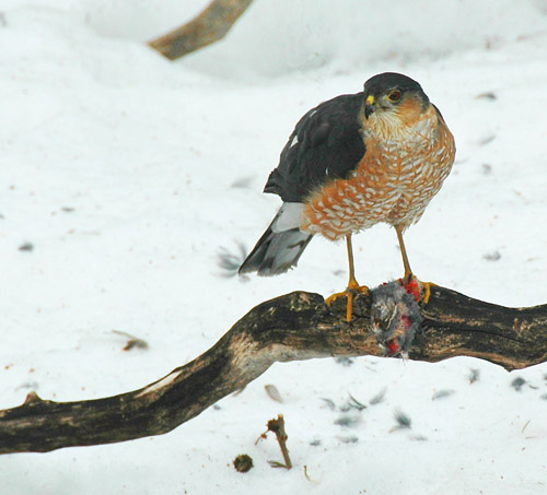 Epervier brun - Sharp-shinned hawk 1
