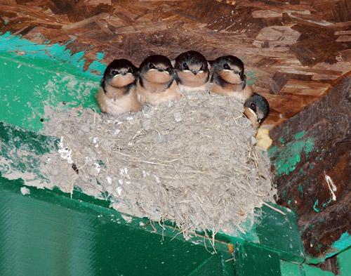 Hirondelles / Swallows