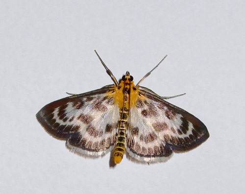 Papillon-butterfly